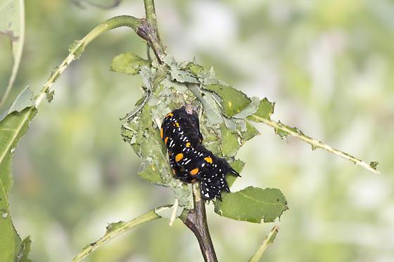Citrus Fruit-piercer ... final instar larva making its cocoon - Gonodonta nutrix