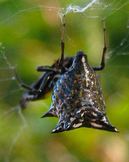 Black spider with spikes - Micrathena gracilis