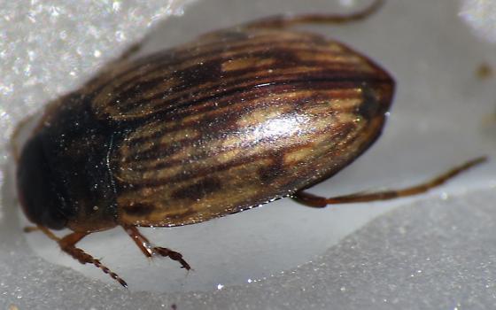 Sunrise Aquatic Beetle 2 - Boreonectes griseostriatus