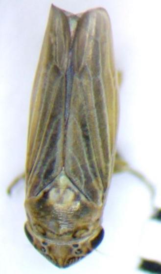 Leafhopper? Looking for a genus/species name - Ciminius hartii - female