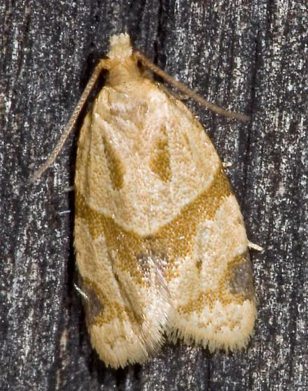 Moth from West Virginia - Clepsis peritana