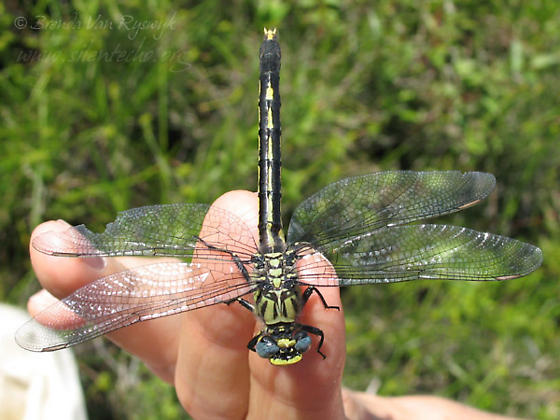 Unicorn Clubtail - Arigomphus villosipes - female