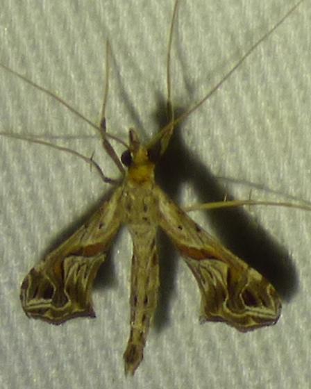 Eggplant Leafroller Moth Lineodesintegra - Lineodes integra