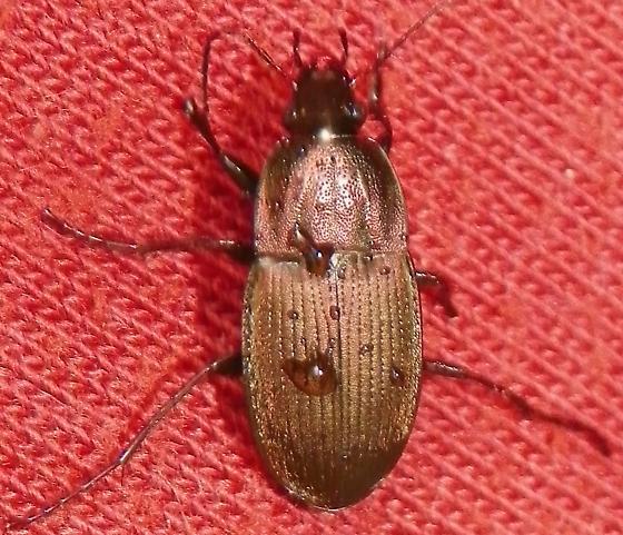 Beetle - Chlaenius tomentosus