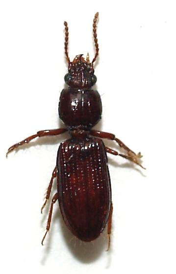 Looks like a Clivina but the front legs are not quite as big.. - Schizogenius falli