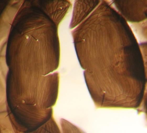Dorsum of mesosoma - Ablerus - female