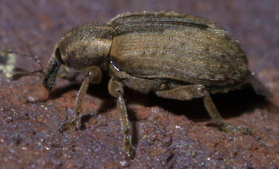 Tan weevil with a brown stripe - Hypera postica