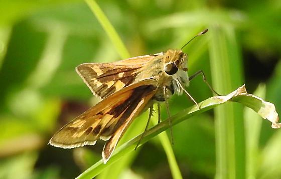 female Hylephila phyleus ? - Hylephila phyleus