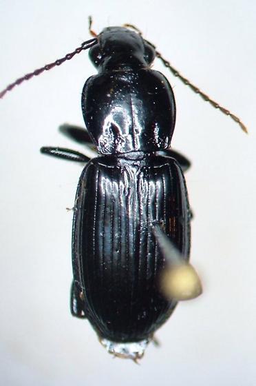 Pterostichus luctuosus - female