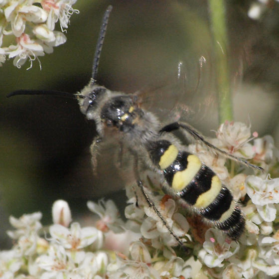 Scoliid wasp - Campsomeris ? - Dielis tolteca - male