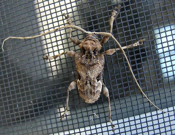 Uknown Longhorn Beetle - Lagocheirus araneiformis