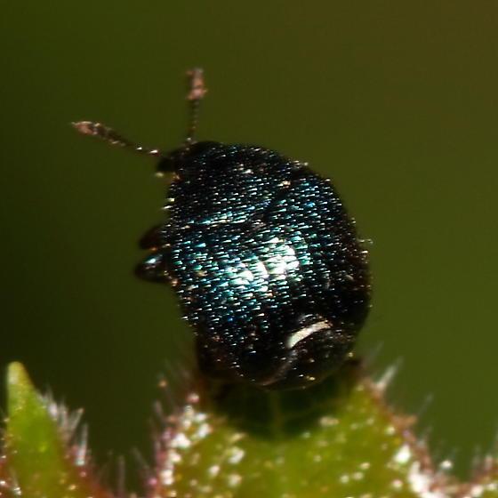 Beetle - Pterocolus ovatus