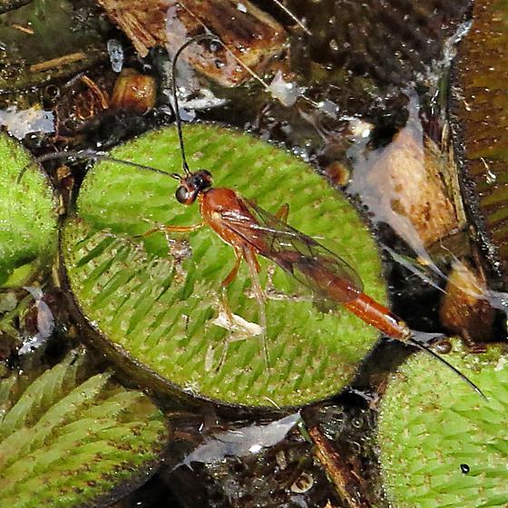 Icheneumonidae - female