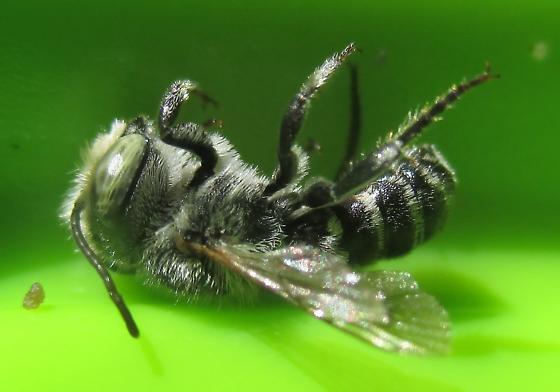 Small Solitary Bee - Megachile rotundata