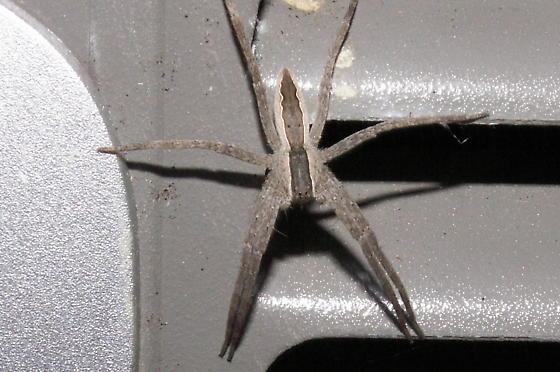 Nursey Web Spider - Pisaurina mira