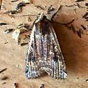 Difficult Moth - Noctua pronuba