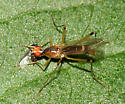 Stilt-legged Fly eating a small fly - Compsobata univitta