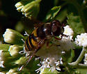 Flower Fly - Eristalis transversa
