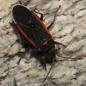 Pima Canyon Seed Bug - Melacoryphus lateralis