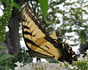 Species Papilio glaucus - Eastern Tiger Swallowtail - Papilio glaucus - male