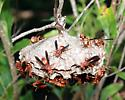 Red Wasp Nest - Polistes carolina