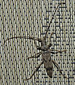 Longhorned Beetle - Elytrimitatrix undata