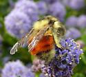 orange-banded bumblebee - Bombus melanopygus - female