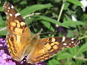 Butterfly on butterfly bush - Vanessa virginiensis