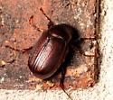 Fat Brown Beetle - Phyllophaga