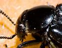 Rove with Parasites? - Creophilus maxillosus