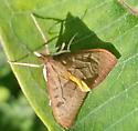 Genista broom moth - Uresiphita reversalis