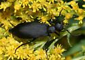 Blister Beetle - Epicauta pennsylvanica