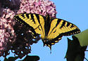 swallowtail for range only - Papilio canadensis - male