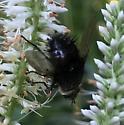 Bee Fly ID