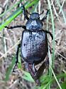 black beetle - Osmoderma scabra