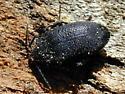coleopteran - Penthe pimelia