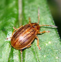 Another Small Beetle - Ophraella cribrata