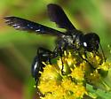 Isodontia philadelphica