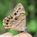 Northern Pearly-Eye?? - Lethe anthedon
