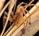 Spider - Philodromus - female