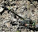 Black-shouldered Spinyleg.  - Gomphurus dilatatus