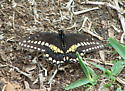 Black and Yellow Butterfly - Papilio polyxenes - male