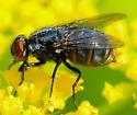 fat muscid fly - female