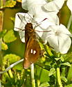 Braziian Skipper - Oligoria maculata
