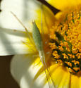 Cricket nymph - Oecanthus argentinus - female