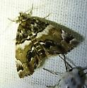 unknown moth 103 - Cutina distincta