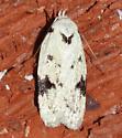 White  and black moth - Inga sparsiciliella