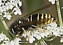 Yellowjacket species - Vespula vidua - male