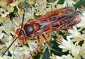 Eastern Cicada Killer - Sphecius speciosus