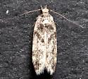 Chionodes pseudofondella - Chionodes - female